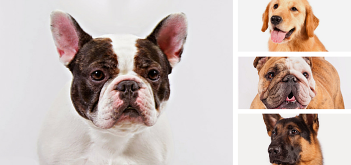 French Bulldog Reigns Supreme In New York City