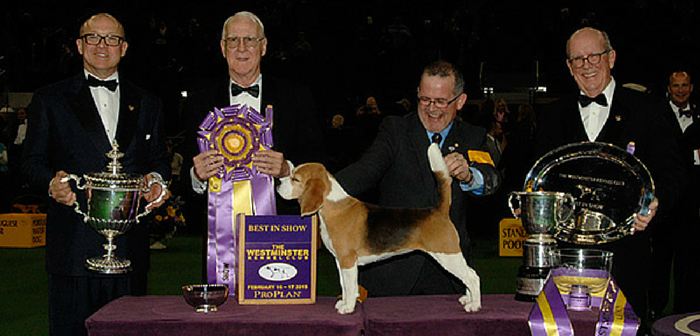 A Beagle Wins 139th Westminster Kennel Club's 'Best in Show' Award