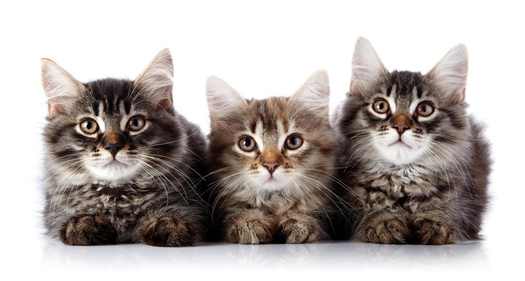 adopt a cat adopt-a-cat month