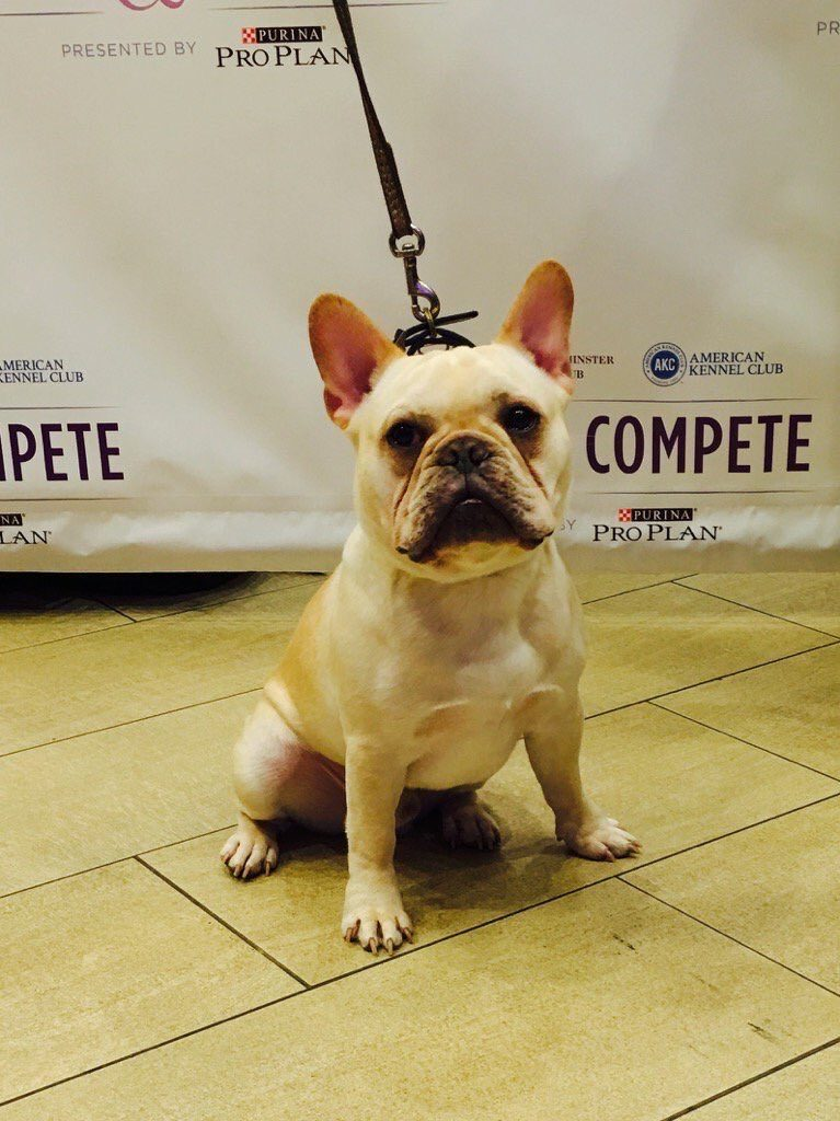 wkc westminster french bulldog