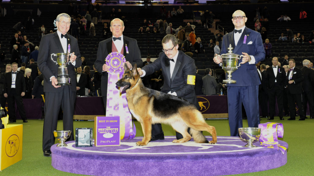 german shepherd westminster wkc dog show
