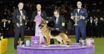 german shepherd westminster kennel club dog show wkc