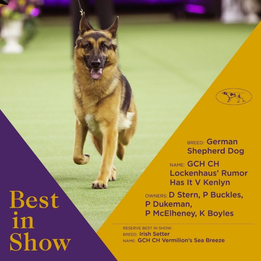 german shepherd rumor best in show westminster kennel club dog show