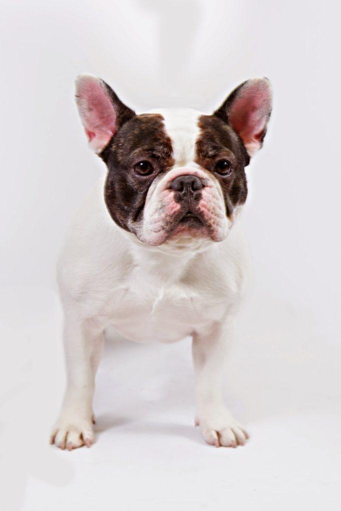 french bulldog nyc new york city
