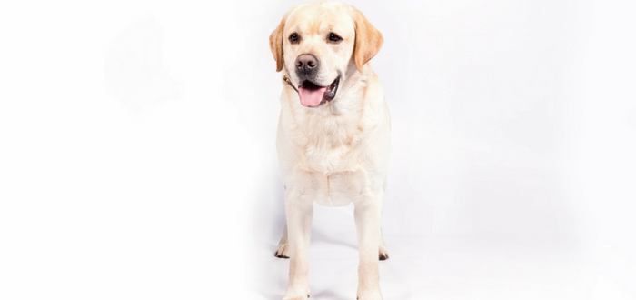 Labrador Retriever Leads The Pack: AKC Announces Most Popular Breeds in the US for 2016