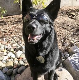 cain american humane hero dog