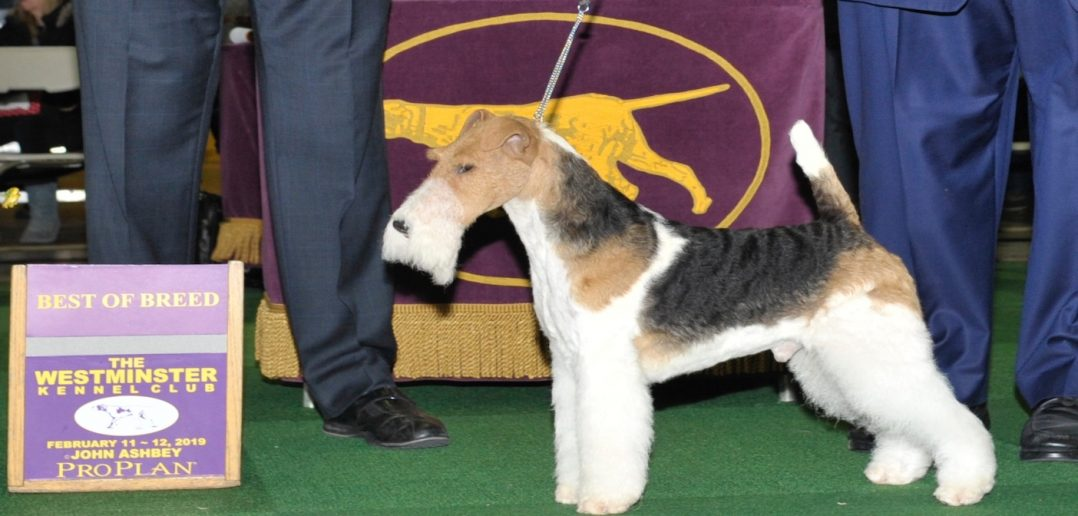"Who was the smooth fox terrier ""lady"" that won Westminster three times?"