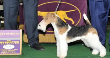 King, 2019 Westminster Best in Show