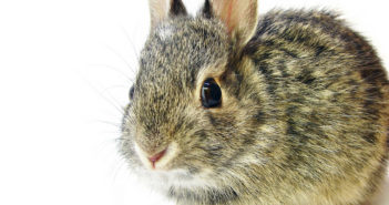 center for pet safety bunny