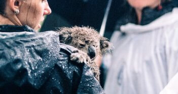 Koala bear with person