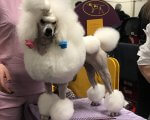 Toy White Poodle