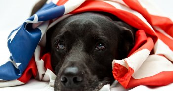 Fourth of July Black Lab