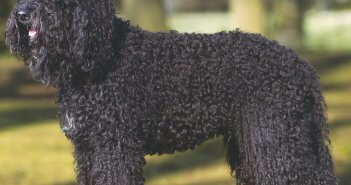 Barbet at Westminster Kennel Dog Club