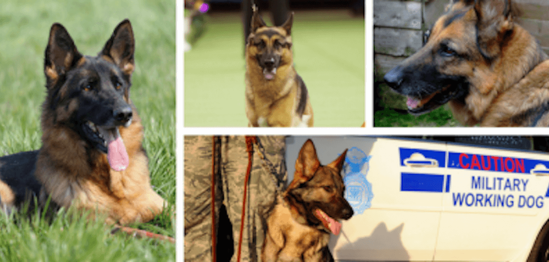 From Popular Culture to Saving Lives: The German Shepherd Dog Is A Winner