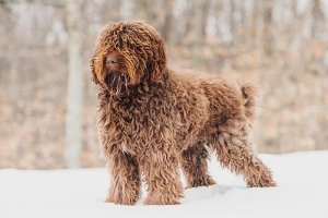 Adjusted Barbet-standing-in-the-snow