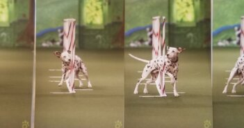 Deaf Dalmation Competes to Win