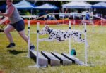 Junior Competes in the AKC Agility Competition Photo Courtesy Paws Imagery